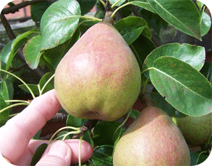 picking pear